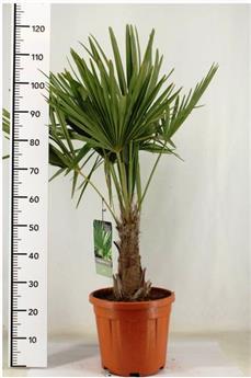 Trachycarpus Fortunei Pot P28 - C10L simple tronc +/- 30 cm