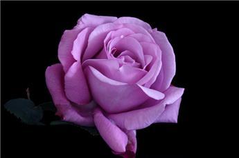 Rosier Violette Parfumée