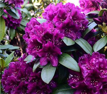 Rhododendron Polarnacht 50 60 XL Pot