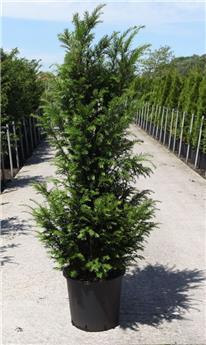Taxus baccata 125 150 Pot ** Plante XL ** Se plante toute l´année