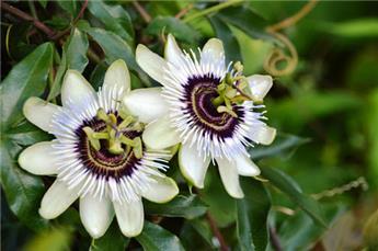 Passiflora Beauty Of hanovre Pot  ** Fleurs de la passion **