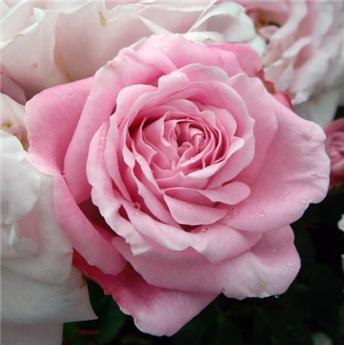 Rosier Natasha Richardson Pot C5L **Très parfumé**