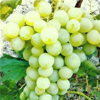 Vitis vinifera Adina Pot C3 ** Très résistante aux maladies et au froid **