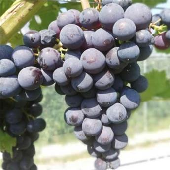 Vitis vinifera Sevar Pot C3 ** Hâtif, résistante aux maladies et au froid **