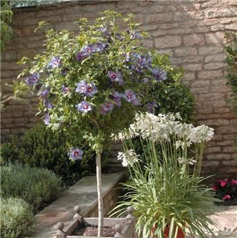 Hibiscus syriacus Marina Tige 40 cm Pot