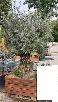 Olea europaea Bonzai XXL Tronc 100-120 cm Pot C675L 100x100 **Plante d´exception centenaire**