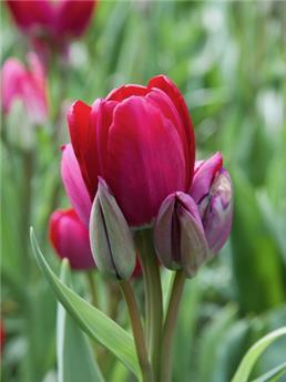Tulipe Fiery Club * 7 pc cal.11/12
