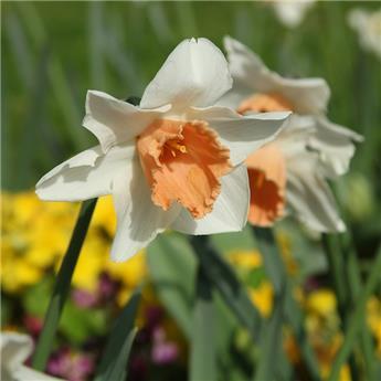 Narcisse Chromacolor * 5 pc cal.12/14