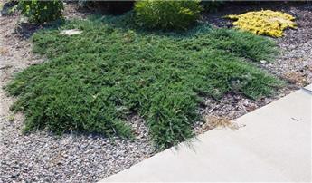 Juniperus horizontalis Wiltonii Pot C7.5