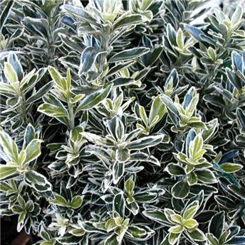 Euonymus japonica Micro Albovariegatus P13