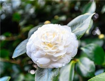 Camellia japonica Mont Blanc (blanc) Pot C15 9 ans