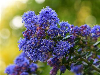 Ceanothus foliosus Italian Skies Pot C4 ** Parfumé **