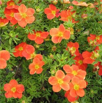 Potentilla fruticosa Hopleys Orange Pot C3.5