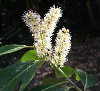 Prunus laurocerasus Caucasica Haute Tige 14 16 Pot ** Fort **
