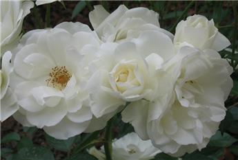 Rosier Schneewitchen Buisson P19