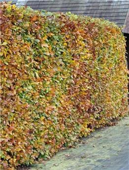 Fagus sylvatica 60 80 Pot C3 ** En pot: se plante toute l´année**