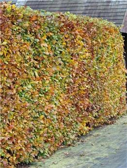 Fagus sylvatica Baliveau 250 300 Pot