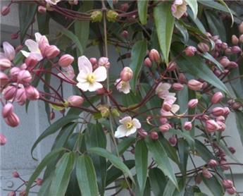 Clematis Armandii Apple Blossom Pot 15  **Feuillage Persistant**