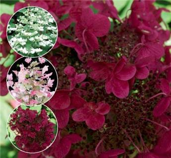 Hdrangea paniculata Wim´s red® C.5L
