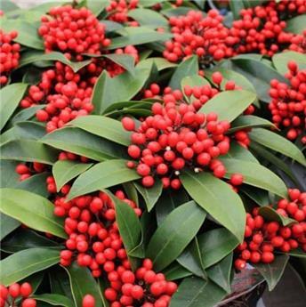 Skimmia japonica Temptation Pot 23