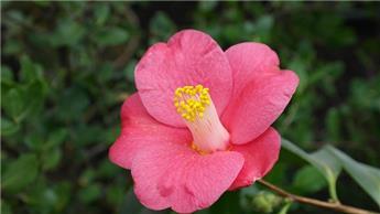 Camellia sasanqua Rose de Segur c7.5