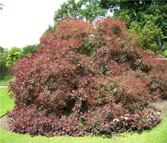 Cotinus coggygria  Royal Purple  C3L