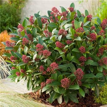 Skimmia japonica Rubella P26