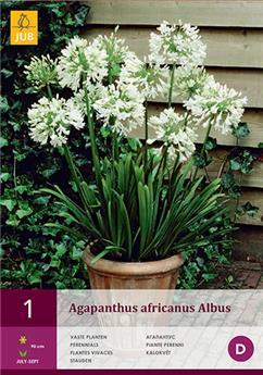 Agapanthus africanus albus 1/2 x 1