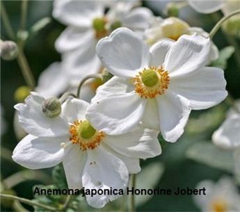 Anemone Honorine Jobert vp11