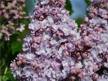 Syringa vulgaris Michel Buchner 80 100 Pot C5