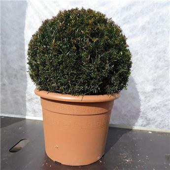 Taxus baccata 35 40 BOULE