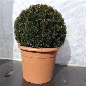 Taxus baccata diam. 40 boule