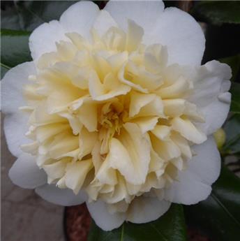 Camellia japonica Jury´s Yellow (blanc crème) Pot C15 9 ans