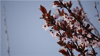 Prunus cerasifera nigra Pissardii demi tige