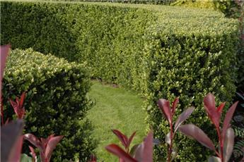 Ilex crenata Green Hedge 15 20 jpl p9