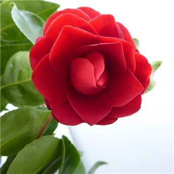 Camellia japonica Black Lace (rouge) Pot C15 9 ans