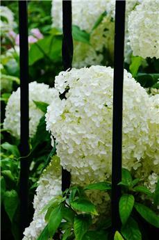 Hydrangea arborescens Strong Annabelle Pot C12 XL