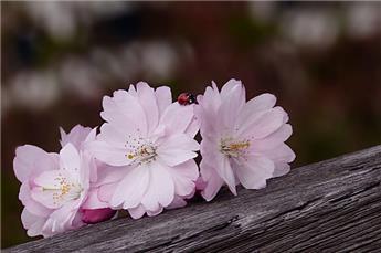 Prunus subhirtela Autumnalis Rosea HT 14 16 motte