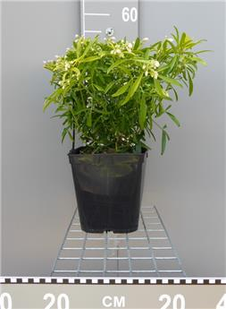 arbustes feuillage persistant central jardin. Black Bedroom Furniture Sets. Home Design Ideas