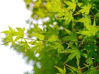 Acer palmatum 150 C25
