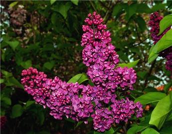 Syringa vulgaris Charles Joly 200 225 cm