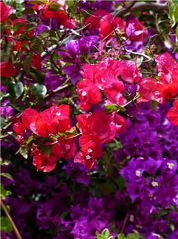 Bougainvillea mix Pot 19
