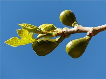 Ficus carica Kadota buisson Pot C5