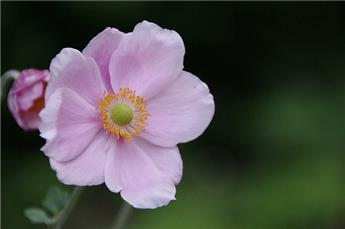 Anemona hyb. Elegans Pot C2