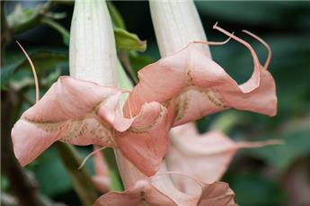 Brugmansia Datura Rose Pot 23 buisson