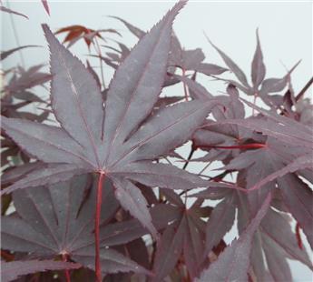 Acer palmatum Bloodgood 175 200 cm Pot C50