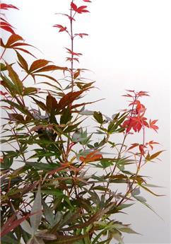 Acer palmatum Skeeters Broon Red Pillar Pot 19