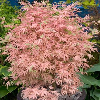 Acer palmatum Taylor c32