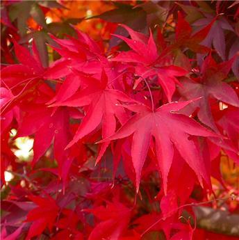 Acer palmatum Osakazuki 125 150 Pot C30