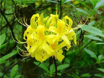 Azalea viscosum Arpege